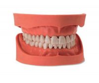 Denture anatomical model